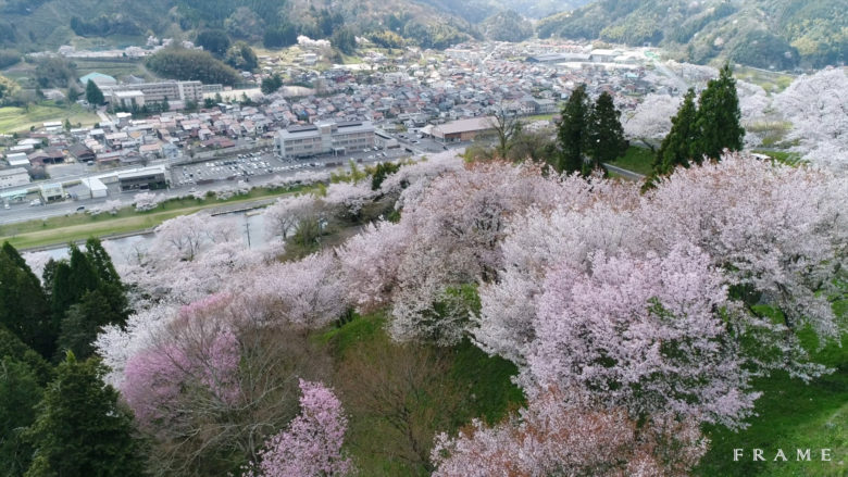 斐伊川沿岸の桜