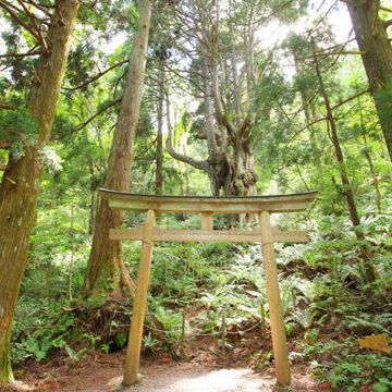 0517 隠岐 岩倉の乳房杉