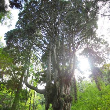 0518 隠岐 岩倉の乳房杉