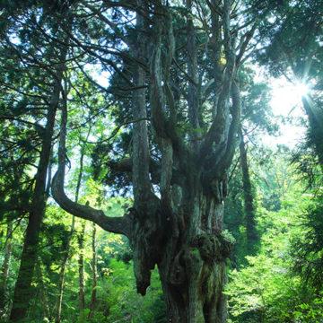 0519 隠岐 岩倉の乳房杉