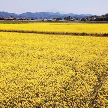 1253 安来市 菜の花畑