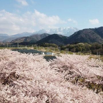 1256 大山町 桜と大山