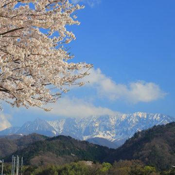 1257 大山町 桜と大山