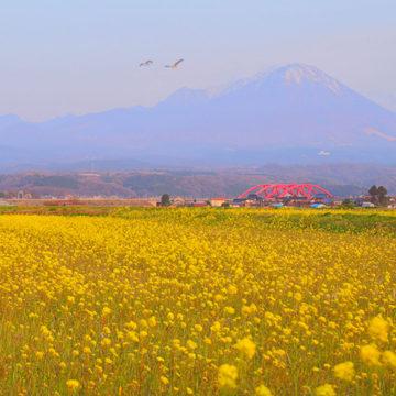 1268 米子市 菜の花畑と大山